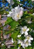 Siberian apple blossom Stock Photography