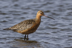 Siberian bar-tailed godwit which feeds in shallow water Royalty Free Stock Photography