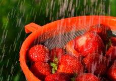 Siberian berry Royalty Free Stock Photo