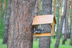 Siberian bird Kedrovka, lat. Nucifraga caryocatactes. The bird eats nuts from the bird feeders in a pine. Siberian bird Kedrovka, lat. Nucifraga caryocatactes stock image