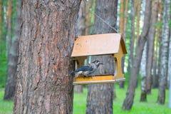Siberian bird Kedrovka, lat. Nucifraga caryocatactes. The bird eats nuts from the bird feeders in a pine. Siberian bird Kedrovka, lat. Nucifraga caryocatactes royalty free stock image
