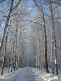 Siberian björkar Arkivfoto