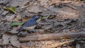 Siberian blåa Robin Walking Royaltyfri Fotografi