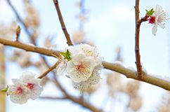 Siberian, blooming Sakura after the snow stock images