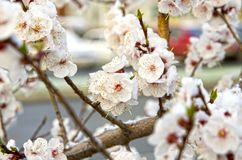 Siberian, blooming Sakura after the snow royalty free stock image