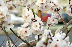 Siberian, blooming Sakura after the snow stock photo