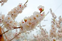 Siberian, blossoming Sakura after a rain stock images