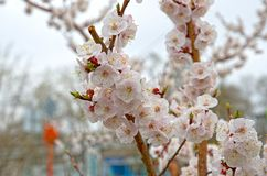 Siberian, blossoming Sakura after a rain stock photography