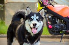 Siberian blue eyed husky dog Stock Photography