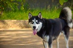 Siberian blue eyed husky dog Royalty Free Stock Image