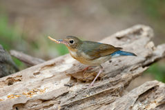 Siberian blue robin Royalty Free Stock Image