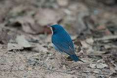 Siberian blue robin. Beautiful male siberian blue robin Royalty Free Stock Photography