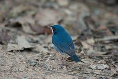Siberian blue robin Royalty Free Stock Photography