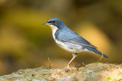 Siberian Blue Robin. (Luscinia cyane)  catch on the rock in nature Stock Photos