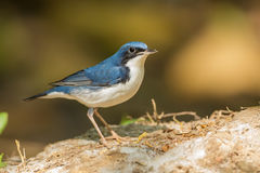 Siberian Blue Robin. (Luscinia cyane)  stair at us at Khaoyai national park,Thailand Royalty Free Stock Images