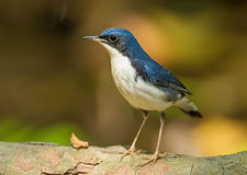 Siberian Blue Robin. (Luscinia cyane)  in nature of Thailand Stock Photo
