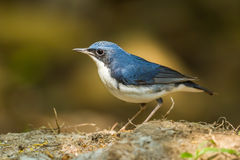 Siberian Blue Robin. (Luscinia cyane)  in nature at Khaoyai national Park,Thailand Stock Image