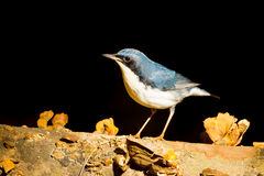Siberian Blue Robin. (Luscinia cyane)  in nature at with black  background Stock Images