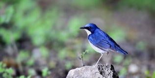 Siberian Blue Robin Stock Image