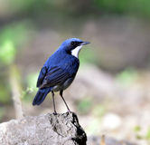 Siberian Blue Robin Royalty Free Stock Images