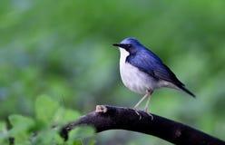 Siberian Blue Robin Royalty Free Stock Photo