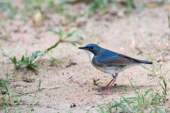 Siberian Blue Robin bird. [ Luscinia cyane Royalty Free Stock Images