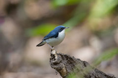 Siberian blue robin. Birds Name:Siberian blue robin. This bird is a migratory insectivorous species breeding in eastern Asia across to Japan. It winters in Stock Image