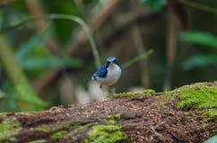 Siberian blue robin Luscinia cyane Royalty Free Stock Photography