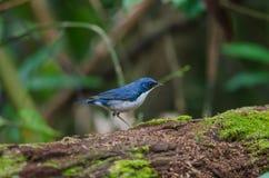 Siberian blue robin Luscinia cyane Stock Photography