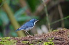 Siberian blue robin Luscinia cyane Stock Photo