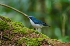 Siberian blue robin Luscinia cyane Stock Photos