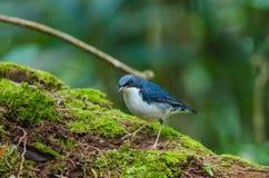 Siberian blue robin Luscinia cyane Stock Image