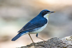 Siberian Blue Robin (Luscinia cyane), Bird Royalty Free Stock Photos