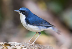 Siberian Blue Robin (Luscinia cyane), Bird Royalty Free Stock Photos