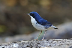 Siberian Blue Robin Luscinia cyane. Birds of Thailand Royalty Free Stock Photos
