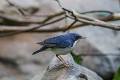 Siberian blue robin(Luscinia cyane) in nature Royalty Free Stock Photography