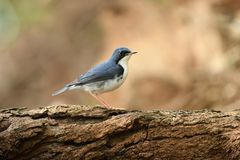 Siberian Blue Robin male migration bird in Southeast Asia. Siberian Blue Robin male migration bird in Thailand and Southeast Asia Stock Photos