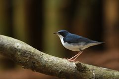 Siberian Blue Robin male migration bird in Southeast Asia. Siberian Blue Robin male migration bird in Thailand and Southeast Asia Stock Images