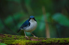 Siberian blue robin & x28;Luscinia cyane& x29; Stock Photos