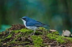 Siberian blue robin & x28;Luscinia cyane& x29; Royalty Free Stock Photography