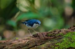 Siberian blue robin & x28;Luscinia cyane& x29; Royalty Free Stock Photo