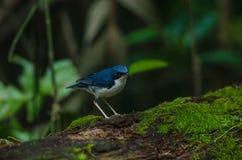 Siberian blue robin & x28;Luscinia cyane& x29; Royalty Free Stock Image