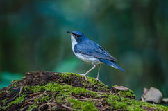 Siberian blue robin & x28;Luscinia cyane& x29; Stock Images