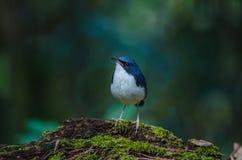 Siberian blue robin & x28;Luscinia cyane& x29; Stock Photo