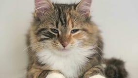 Siberian breed cat on a gray background. SESSION KEYWORD: uzhurskycat stock footage