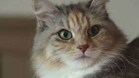 Siberian breed cat on a gray background. SESSION KEYWORD: uzhurskycat stock video