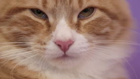 Siberian breed cat on a purple background. SESSION KEYWORD: uzhurskycats stock footage