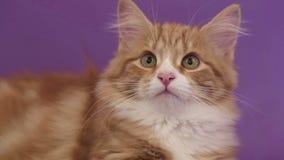 Siberian breed cat on a purple background. SESSION KEYWORD: uzhurskycats stock video