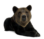 Siberian Brown Bear, 12 years old, lying Stock Photography