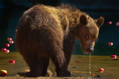 Siberian Brown bear - cub Royalty Free Stock Images
